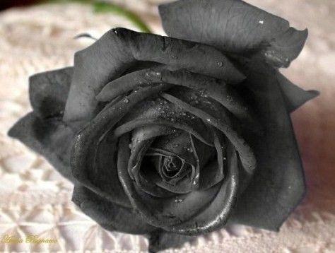Roses Noires Signification James Ellroy Le Dahlia Noir Maison